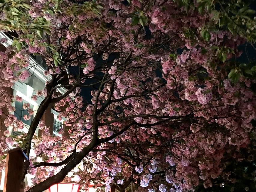 大阪造幣局桜の通り抜け【2018年混雑状況や屋台】に行ってきた