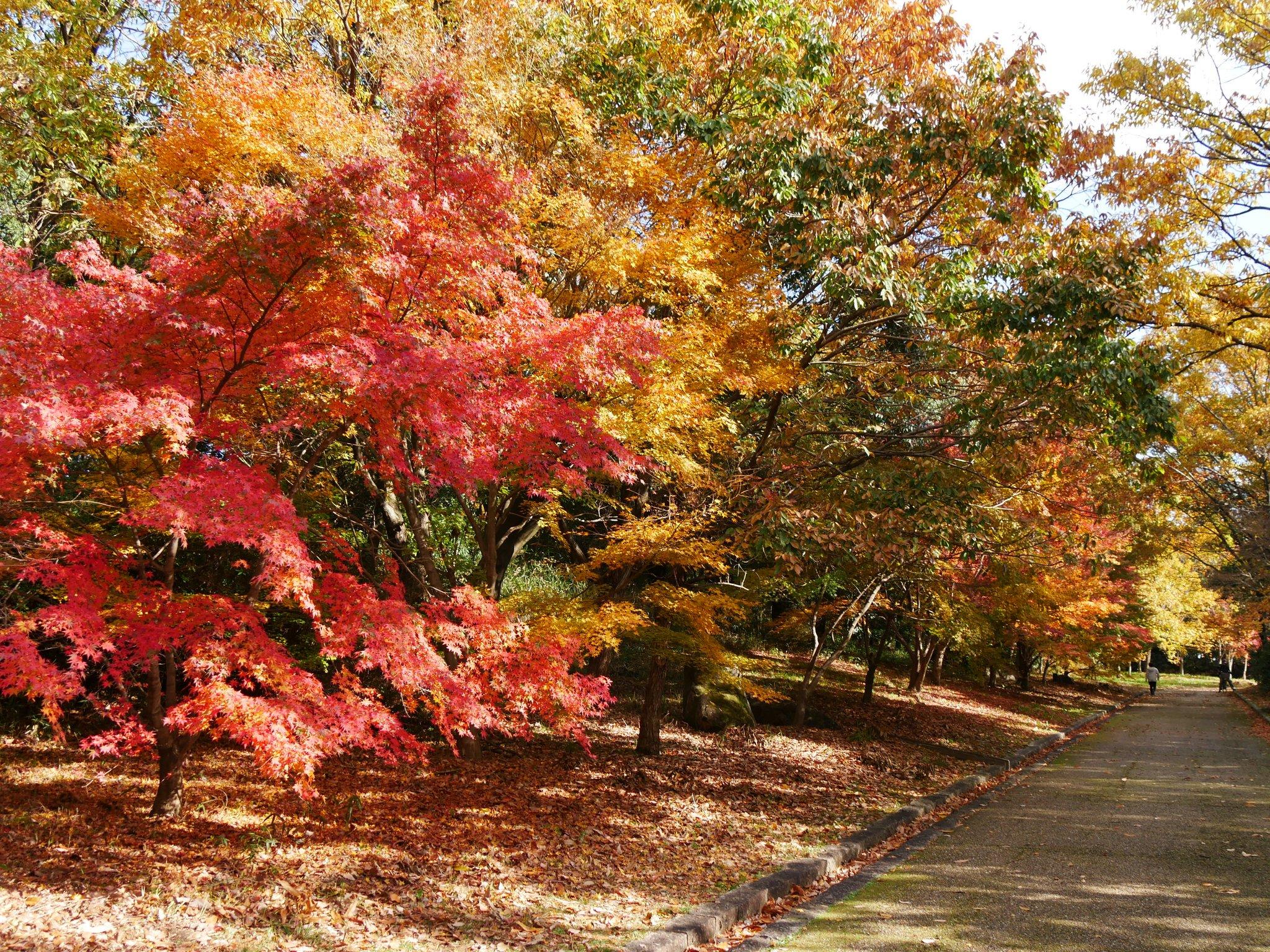 山田池公園の紅葉【2019】見頃や混雑状況、子供連れでも楽しめる?花見と紅葉が楽しめる山田池公園
