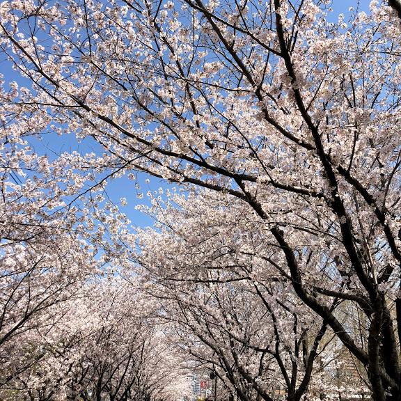 打上治水緑地公園の桜花見に行ってきた!子供連れでも楽しめる?