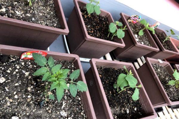 家庭菜園-定点観測|枝豆、キュウリ、ミニトマト、スイカ、プチアマ(ほうずき)
